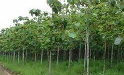 Teakwood Plants
