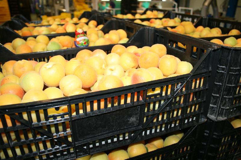 Fresh Apricots 03