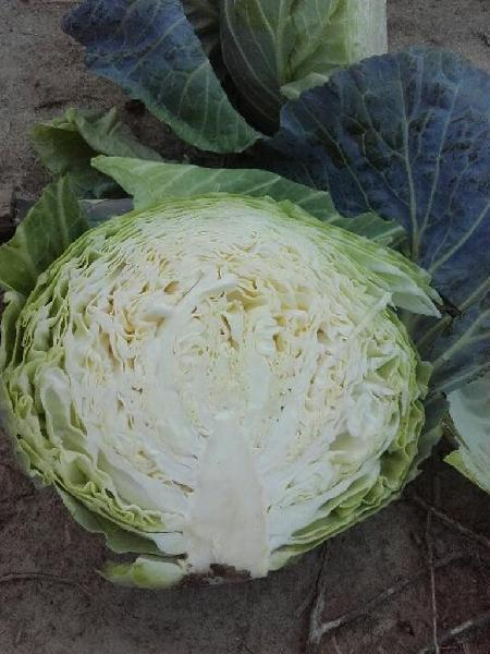 Fresh Cabbage 03