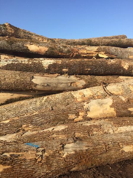 Ash Wood Logs 02