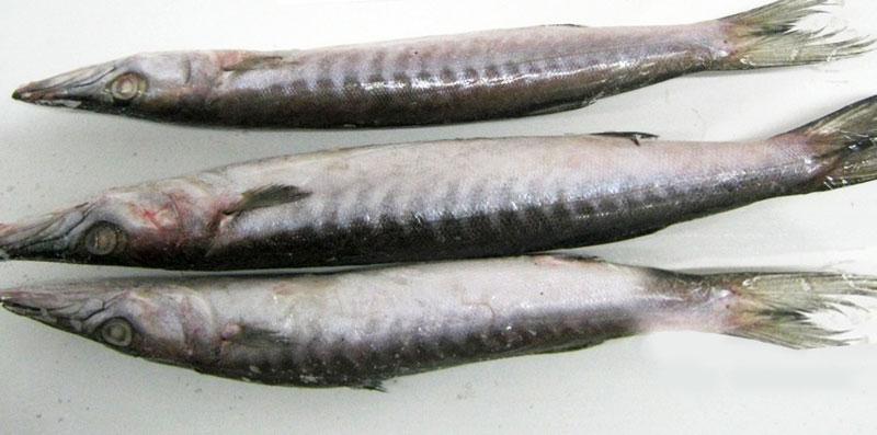 Frozen Barracuda Whole Fish