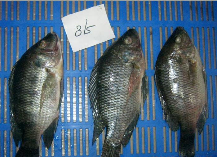 Frozen Tilapia Whole Round  Fish