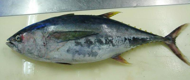 Frozen Yellow Fin Tuna Fish