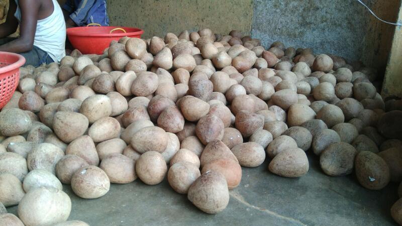 Coconut Copra 04