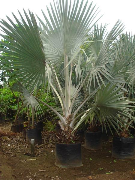 Bismarckia Palm Plants