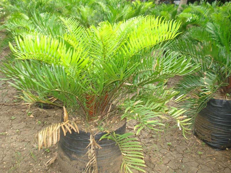 Zamia Floridana Plants