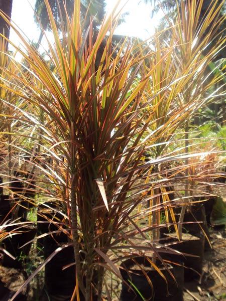 Dracena Marginata Plants