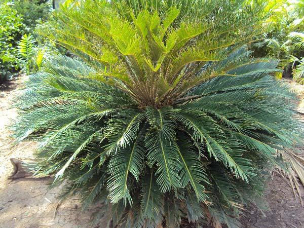 Sago Palm Plant