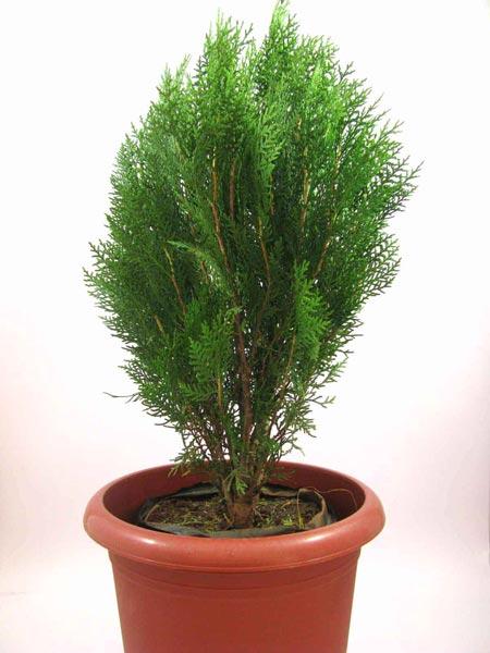 Platycladus Plant
