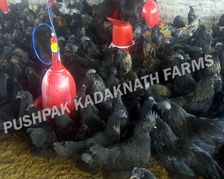 Kadaknath Parent Birds
