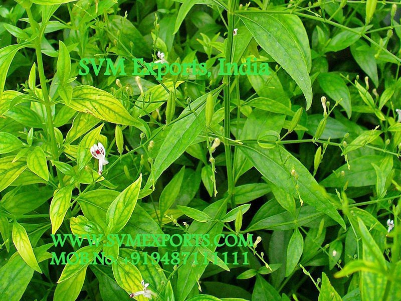 Andrographis Paniculata Suppliers
