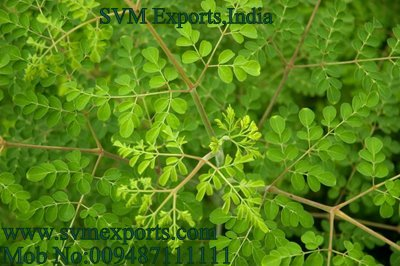 Fresh Moringa Tea Cut Leaf Exporters India