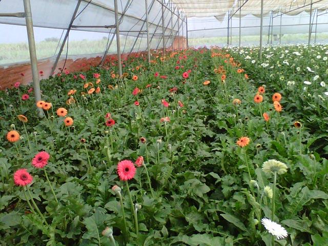 Fresh Gerbera Flower
