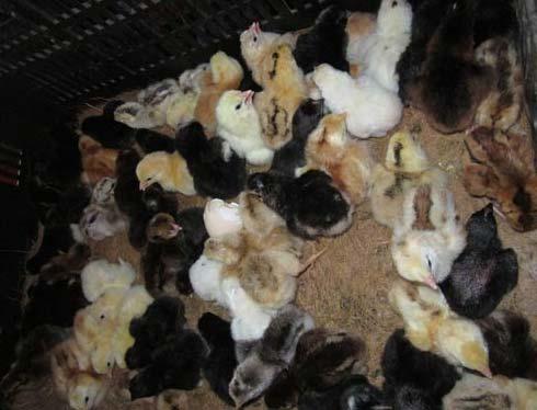 Chicken Baby Chicks