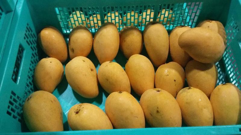 Fresh Mango 01