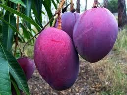 Purple Mango