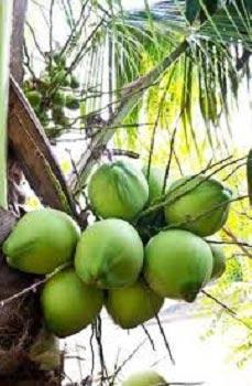 Green Tender Coconut