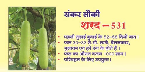 Bottle Gourd Seeds (Shard - 531) 01