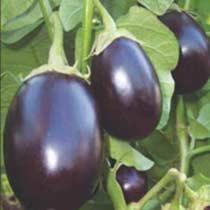 Brinjal Seeds (Prem - 387) 01