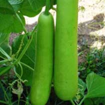 Bottle Gourd Seeds (Shard - 531) 02