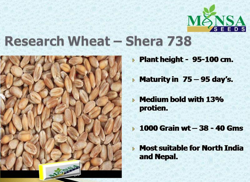 Reasearch wheat Shera - 738