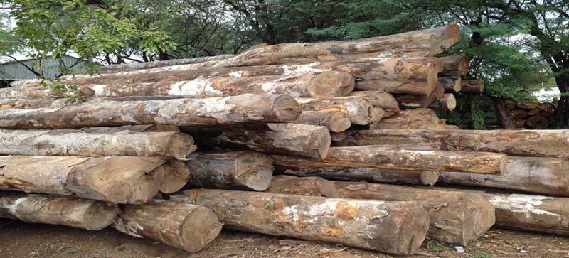 Gmelina Wood Logs