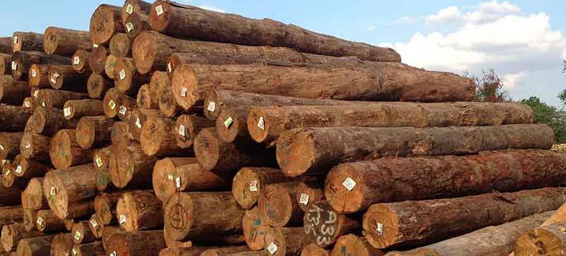 Pine wood logs suppliers hardwood exporter in india