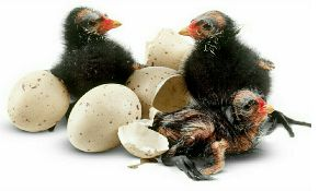 Hatching Duck Eggs 03