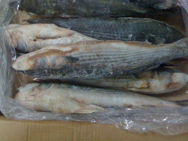 Frozen Grey Mullet Fishes