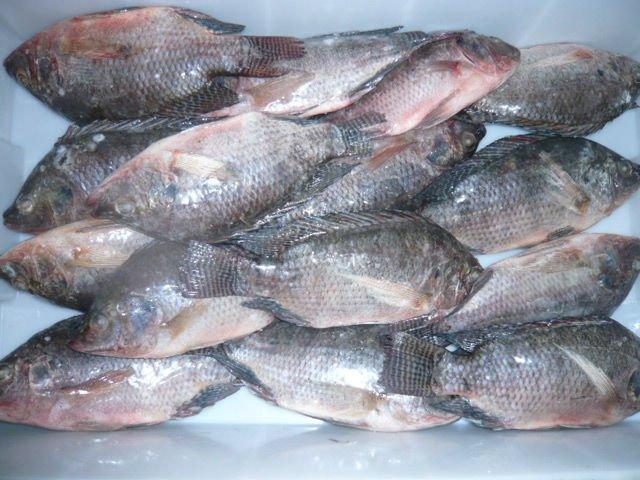 Frozen  Whole Tilapia Fishes