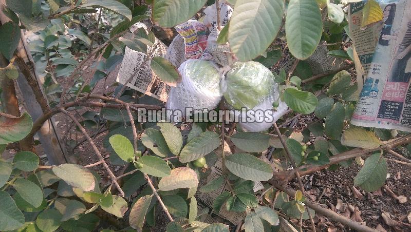 Fresh Guava 04