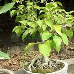 Babul Bark Extract