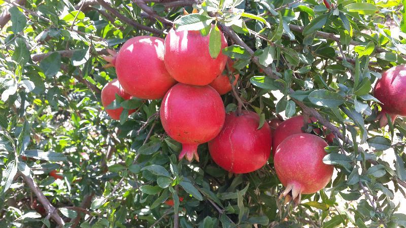 Fresh Pomegranate 03