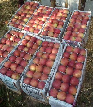 Apples Image 02