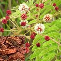 Acacia Consinna