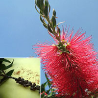 Callistemon Viminalis ( Bottle brush )