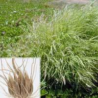 Cenchrus Ciliaris( Buffel Grass )