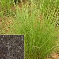 Chrysopogon Zizanioides (Vetiver)