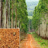 Eucalyptus Hybrid
