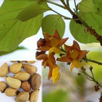 Gmelina Arborea