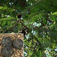 Parkia Biglandulosa