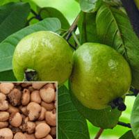 Psidium Guava