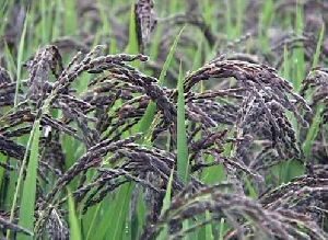Black Rice Seeds