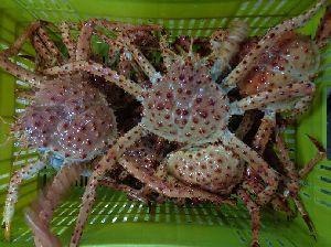 King Crab 03