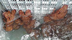 Slipper Lobster 01
