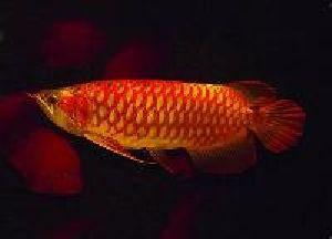 Asian Red Arowana Fish 01