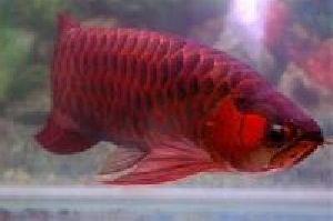 Asian Red Arowana Fish 02