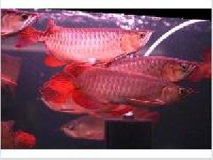Asian Red Arowana Fish 03