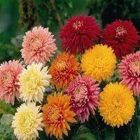 Fresh Cut Chrysanthemum Flower