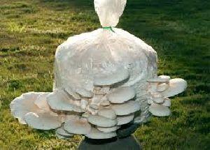 Oyster Mushroom 02